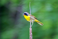 Male Common Yellow Throat Warbler