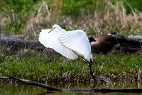 Snowy Egret photographed at Huntley Meadows.