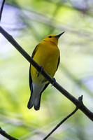 Prothonotary Warbler photographed at Huntley Meadows, Virginia.